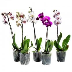 Виды орхидей в горшках. Фотоподборка и названия. ТОП-5